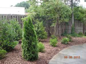 arborvitae with azaleas and gardenias