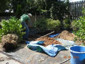 digging hole for 7'holly