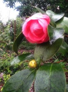 camellia at christmas 2015