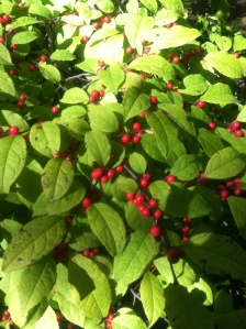 dewciduous holly