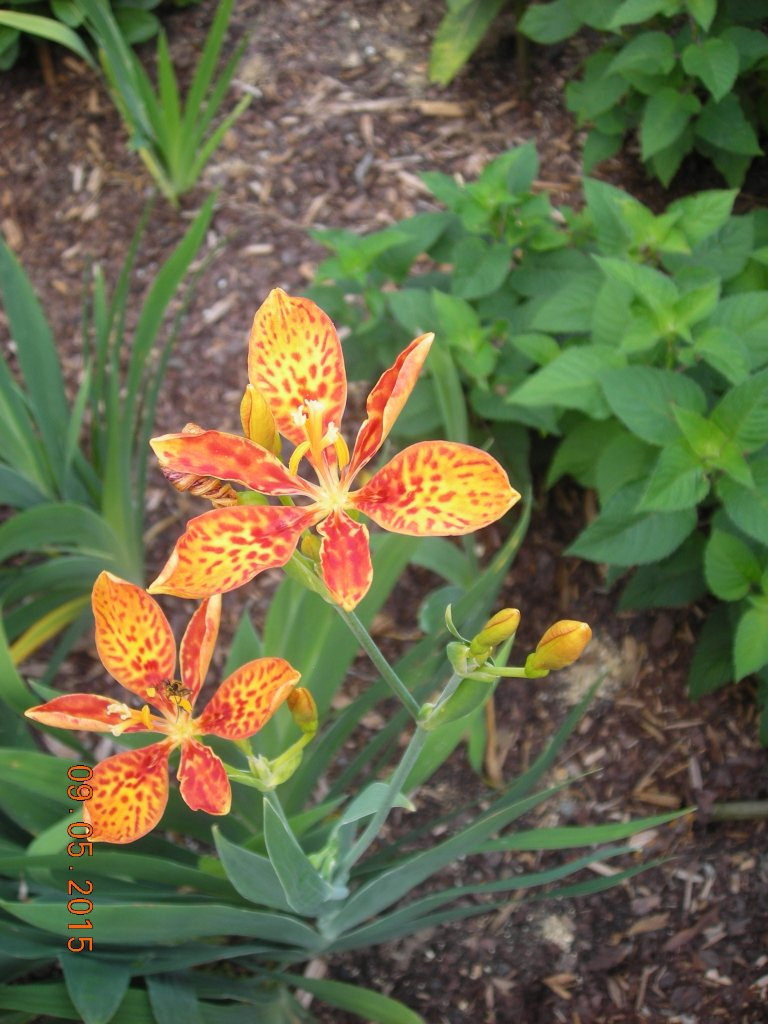 blackberry lily (2)