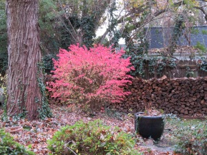 burning-bush-turning-color