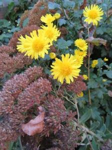 chrysanthemums-with-sedum